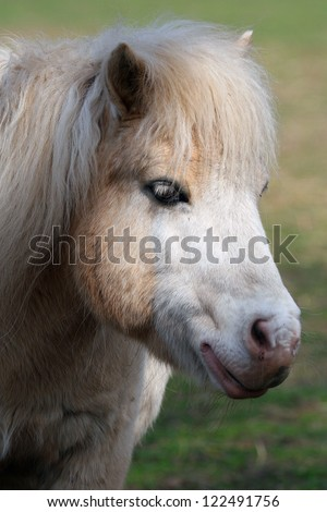 Shetland Pony portrait. Taken in Arbroath, Angus, Scotland. - stock photo