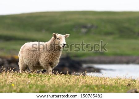 Shetland sheep - stock photo