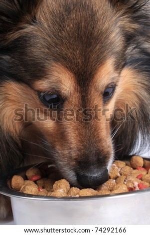 Shetland Sheepdod better known as a Sheltie eating dog food bits from a silver bowl - stock photo