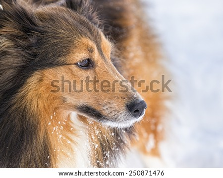 shetland sheepdog  - stock photo