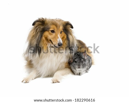 Shetland sheepdog and  chinchilla - stock photo