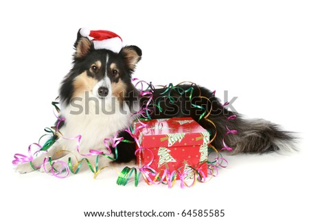 Shetland sheepdog in Christmas hat with gift on white background - stock photo