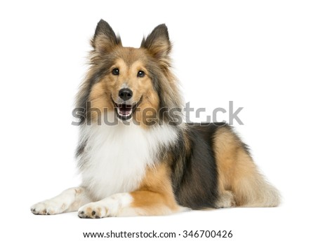 Shetland Sheepdog lying in front of a white background - stock photo
