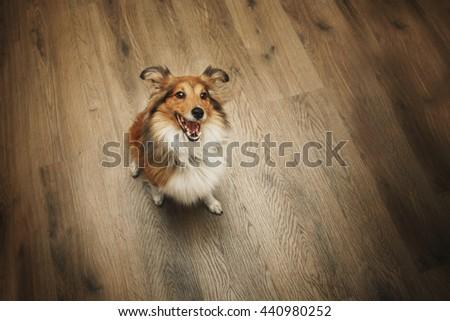 Shetland Sheepdog on sitting floor. Sheltie dog. - stock photo