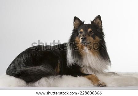 Shetland sheepdog portrait. Image taken in a studio. - stock photo