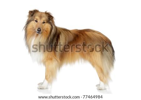 Shetland sheepdog rack on a white background - stock photo