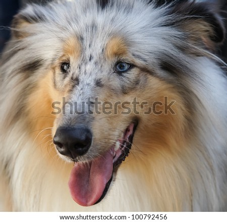 Shetland Sheepdog. Sheltie close up portrait. - stock photo