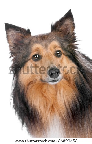 Shetland Sheepdog, sheltie, isolated on a white background - stock photo