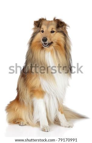Shetland sheepdog. Sheltie sits on a white background - stock photo