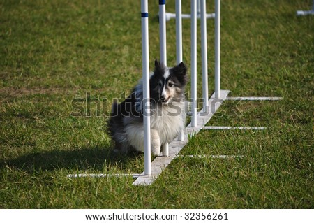 Shetland Sheepdog (Sheltie) weaving through weave poles at dog agility trial, copy space - stock photo