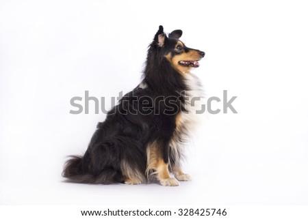 Shetland Sheepdog, sitting isolated on white studio background - stock photo