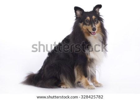 Shetland Sheepdog, standing isolated on white studio background - stock photo