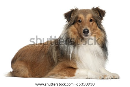 Shetland Shepherd dog, 5 years old, lying in front of white background - stock photo