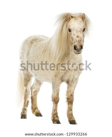 Shetland with front mane over its ears in front of white background - stock photo
