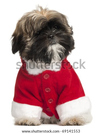 Shi Tzu puppy in Santa outfit, 3 months old, sitting in front of white background - stock photo