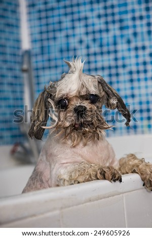 Shi tzu takes bathes - stock photo