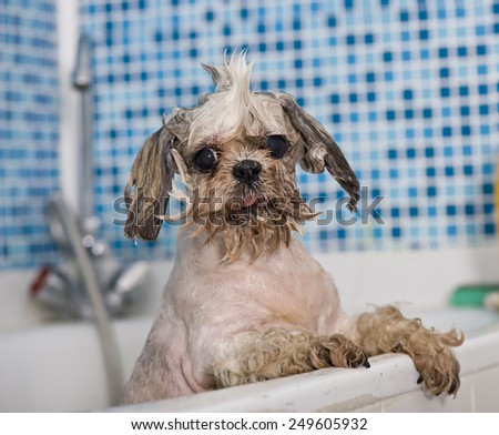 Shi tzu takes bathes - stock photo