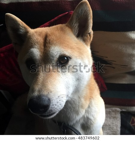Shiba in the morning