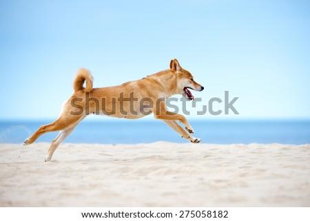 shiba-inu dog running on a beach - stock photo