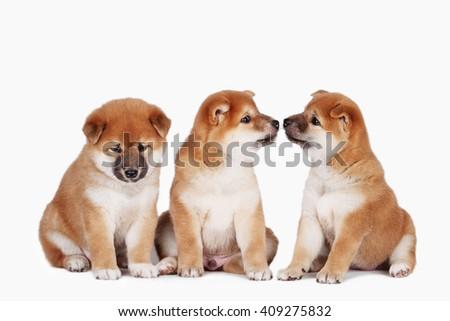 shiba inu puppies - stock photo