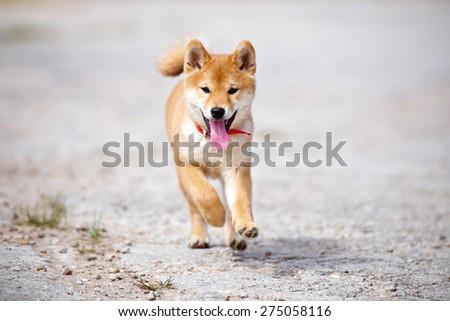 shiba-inu puppy outdoors - stock photo