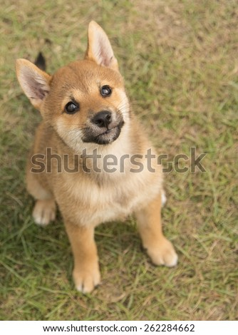Shiba Inu puppy sitting on the grass