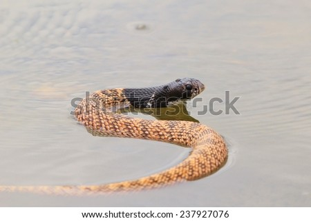 Shield Nose Snake - African Reptile Background - Dangerous Beauty and Markings of Nature - stock photo
