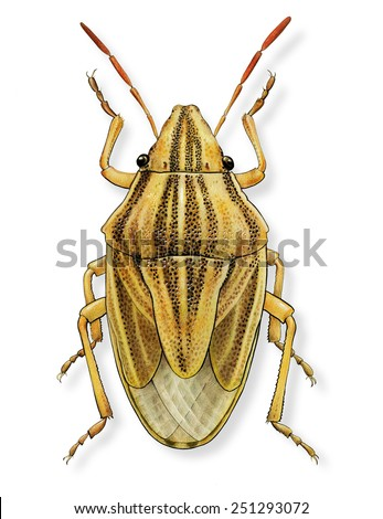 Shieldbug, Aelia Acuminata, crop pest known as Bishop's Mitre, isolated drawing - stock photo