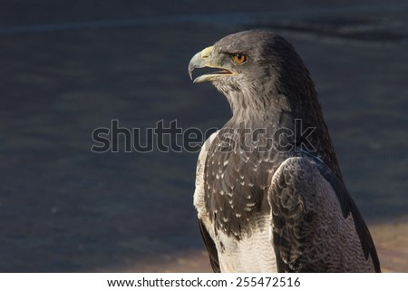 Shielded eagle in outdoor exposure   - stock photo