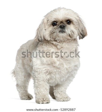 Shih Tzu, 3 and a half years old, standing in front of white background