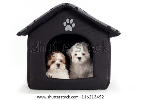 Shih Tzu cross puppies into a soft house