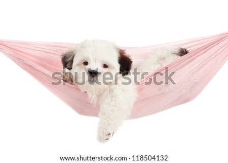 Shih Tzu cross puppy into a hammock - stock photo