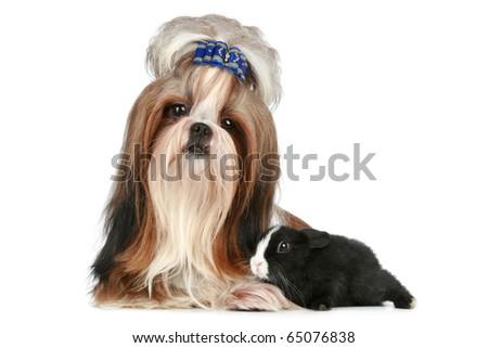 Shih tzu dog and rabbit lie on a white background - stock photo
