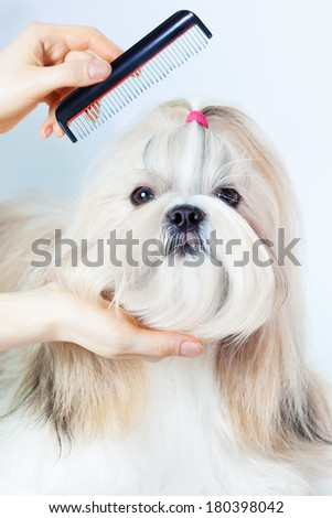 Shih tzu dog grooming with comb. - stock photo