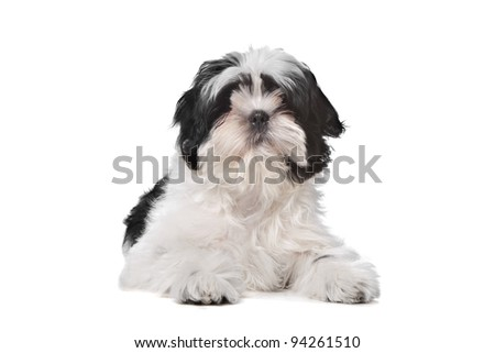Shih Tzu dog in front of a white background