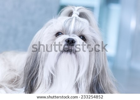 Shih tzu dog in home interior. - stock photo