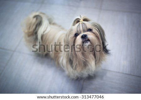 Shih tzu dog in home interior. Asking for something to eat. - stock photo