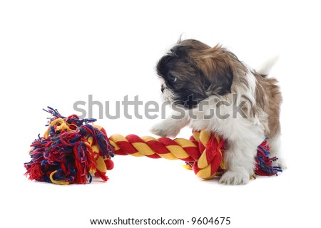 shih tzu dog isolated on a white background - stock photo