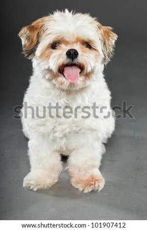 Shih tzu dog isolated on dark grey background. Studio portrait. - stock photo