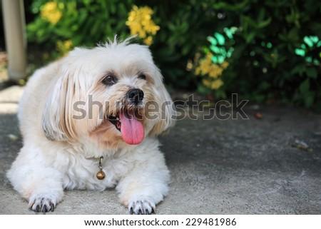 Shih tzu dog lying and relaxing near the garden - stock photo