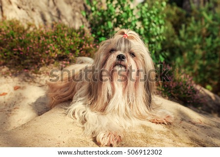 Shih tzu dog lying on stone summer portrait