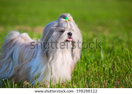Shih tzu dog on grass. - stock photo