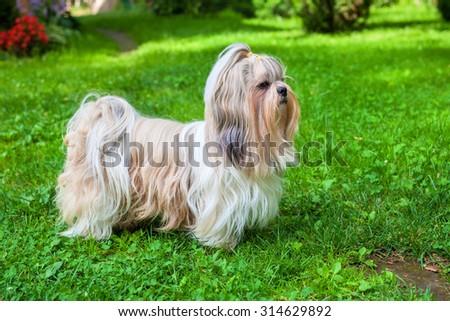 Shih tzu dog on green grass. - stock photo