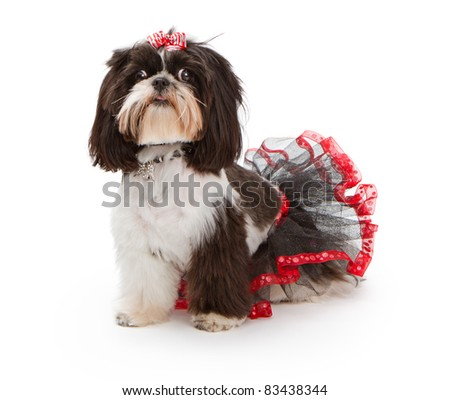 Shih Tzu dog siting on a white background wearing a black tut with red trim and a red and white bow