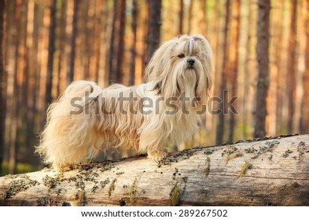 Shih-tzu dog standing on tree trunk in forest. - stock photo