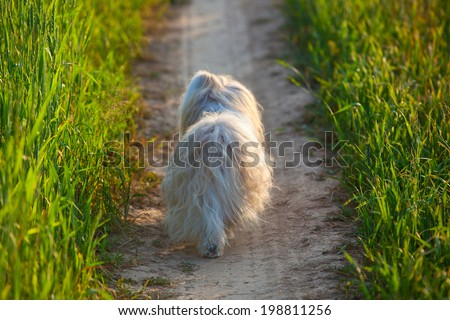 Shih tzu dog walking. Backside view.