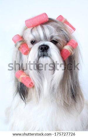 Shih tzu dog with curlers. - stock photo