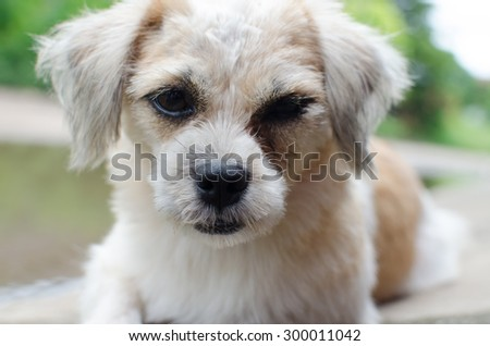Shih-tzu half-breed puppy posing isolated
