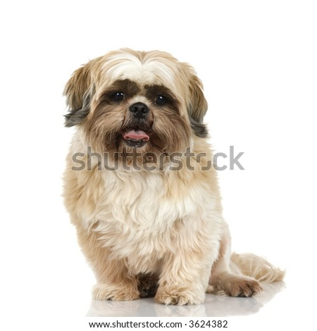 Shih Tzu in front of white background and facing the camera