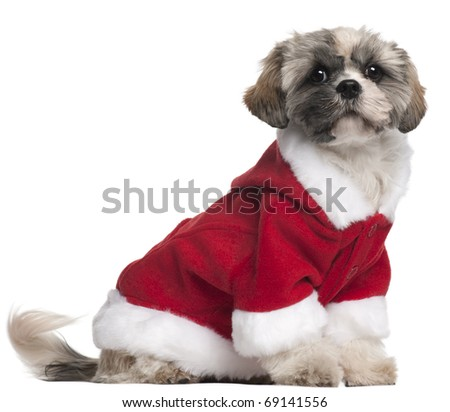 Shih Tzu in Santa outfit, 7 months old, sitting in front of white background - stock photo